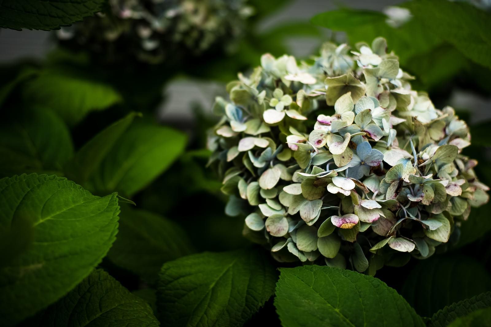 「枯れる紫陽花枯れる紫陽花」のフリー写真素材を拡大
