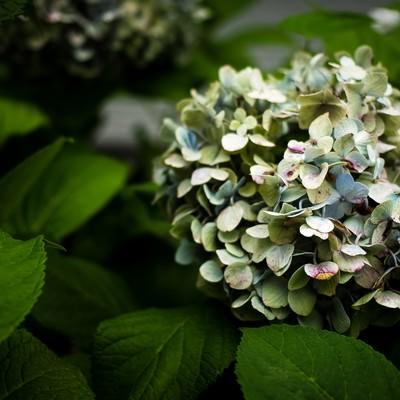 「枯れる紫陽花」の写真素材