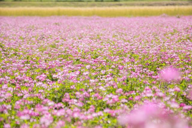 一面に咲くれんげの花の写真
