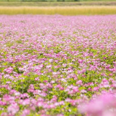 「一面に咲くれんげの花」の写真素材