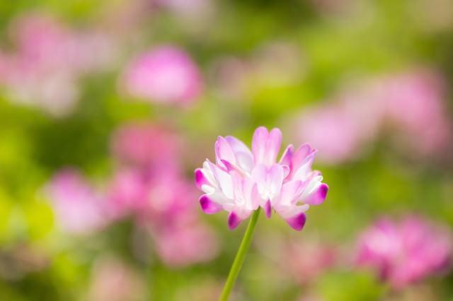 蓮華の花の写真