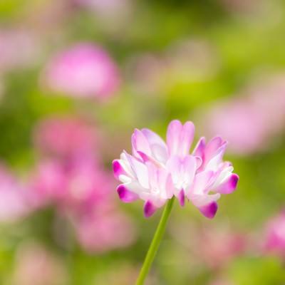 「蓮華の花」の写真素材