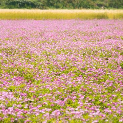 「お花畑(蓮華)」の写真素材