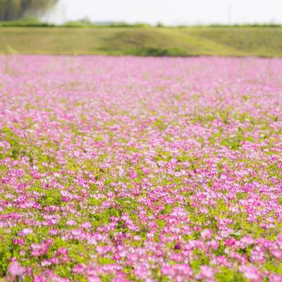 「蓮華畑」の写真素材