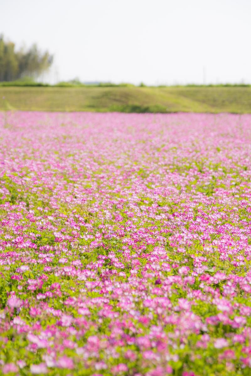 「蓮華畑」の写真