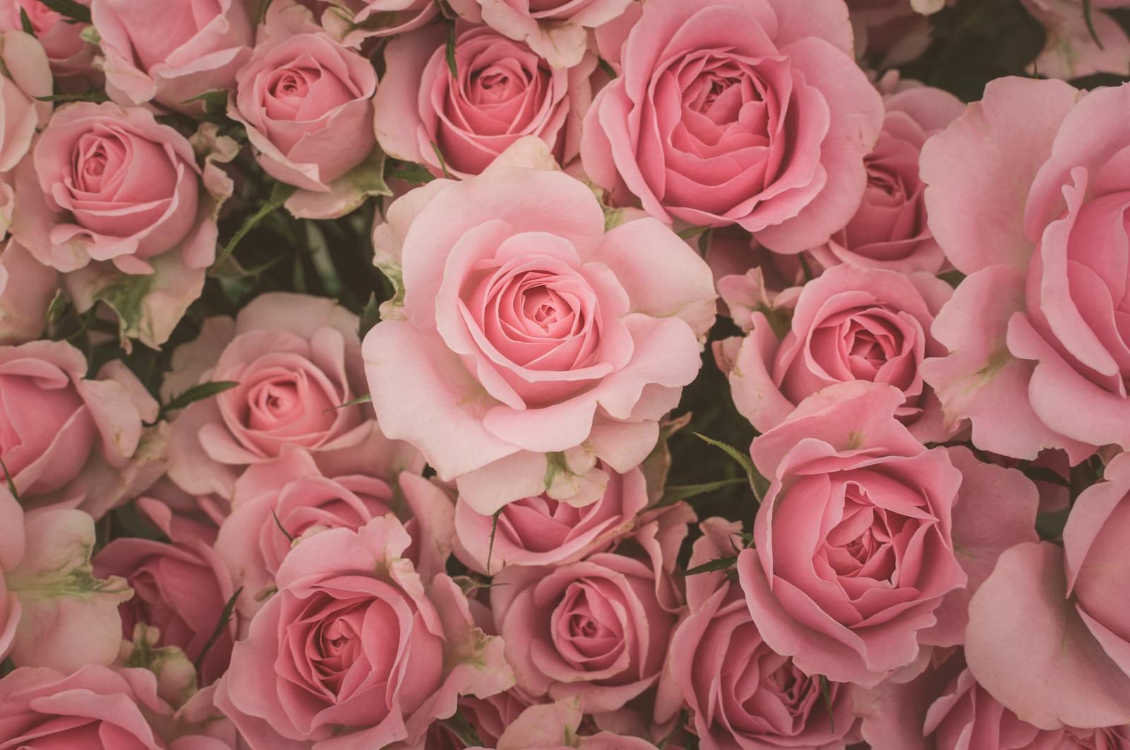 「薄ピンク色の薔薇のテクスチャー」の写真