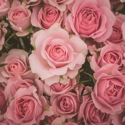 「薄ピンク色の薔薇のテクスチャー」の写真素材