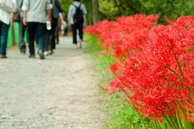 道端に咲く彼岸花の写真