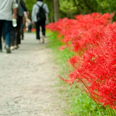 「道端に咲く彼岸花」の写真素材