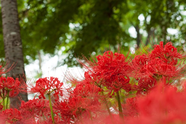 曼珠沙華の季節の写真