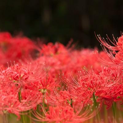 「妖しい彼岸花」の写真素材