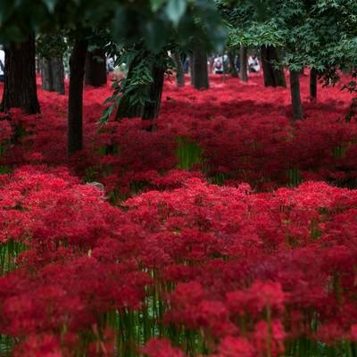 「彼岸花で埋め尽くされた巾着田」の写真素材