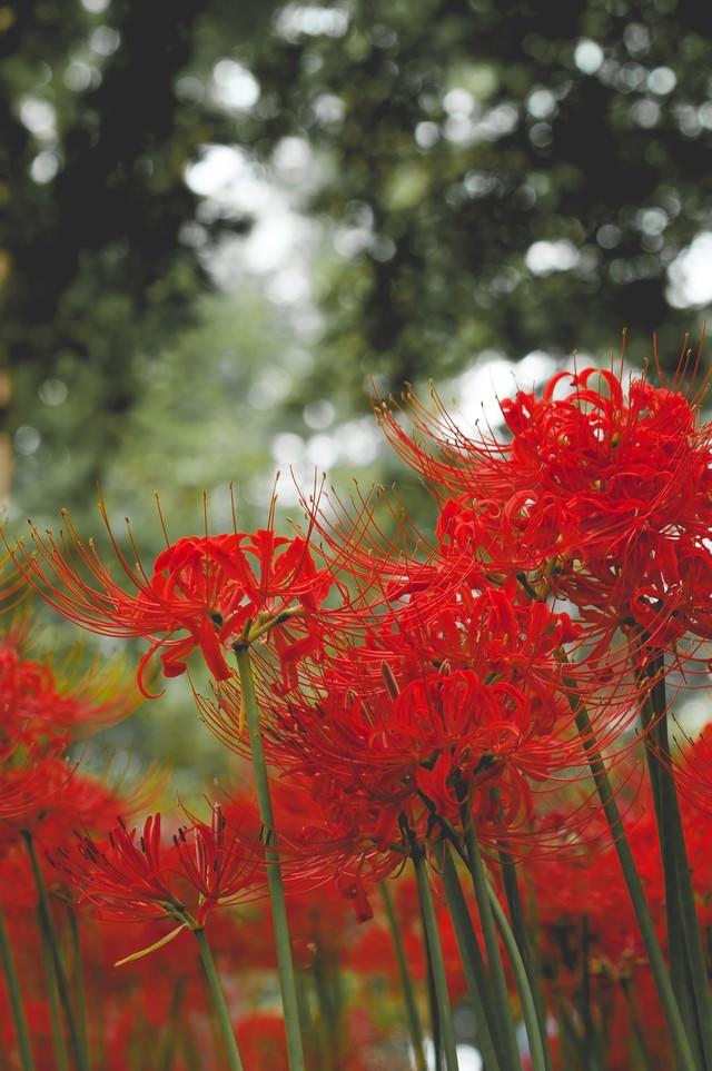 ヒガンバナの咲く頃の写真