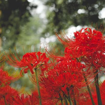 「ヒガンバナの咲く頃」の写真素材