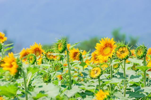 太陽に向かって咲くひまわり畑の写真