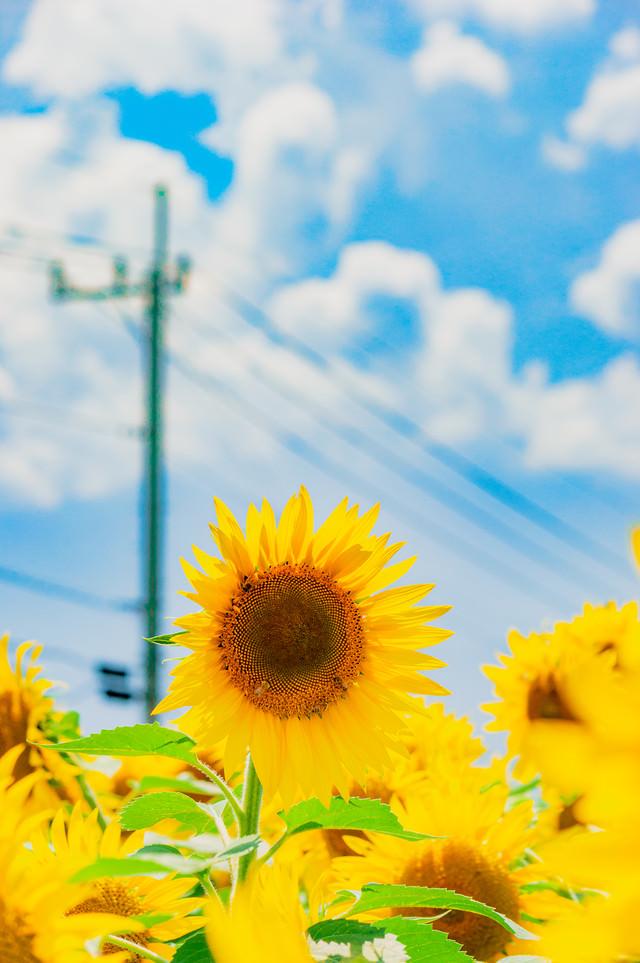 ぼくの夏休み風(ひまわり)の写真