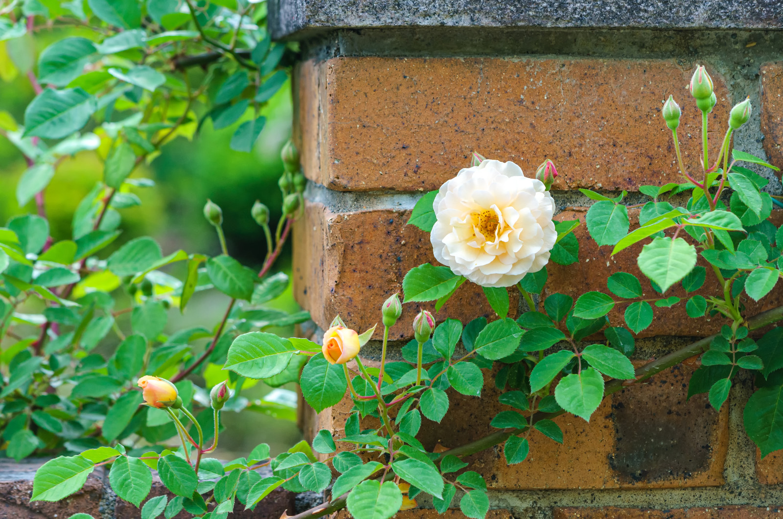 「レンガとつるバラ」の写真