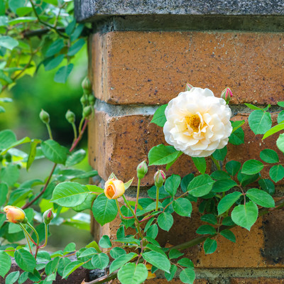 レンガとつるバラの写真