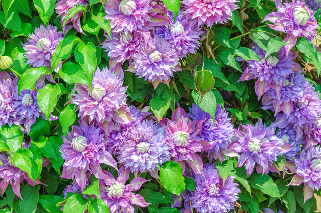 八重咲きクレマチスのテクスチャの写真