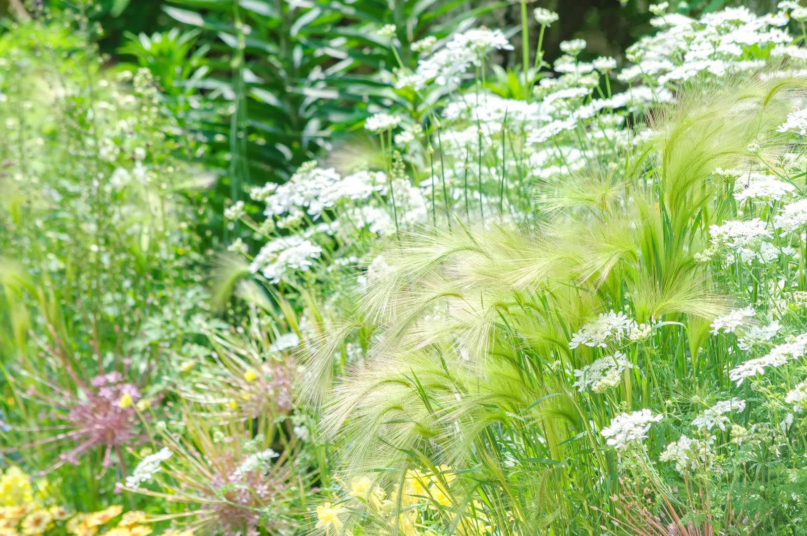 「初夏の風にゆれるオーナメンタルグラス」の写真