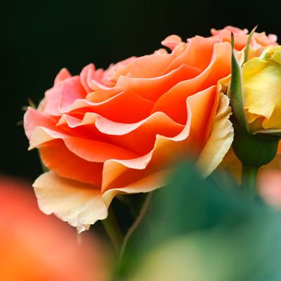 艶やかなオレンジのバラの写真