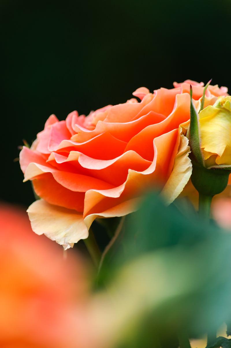 「艶やかなオレンジのバラ」の写真