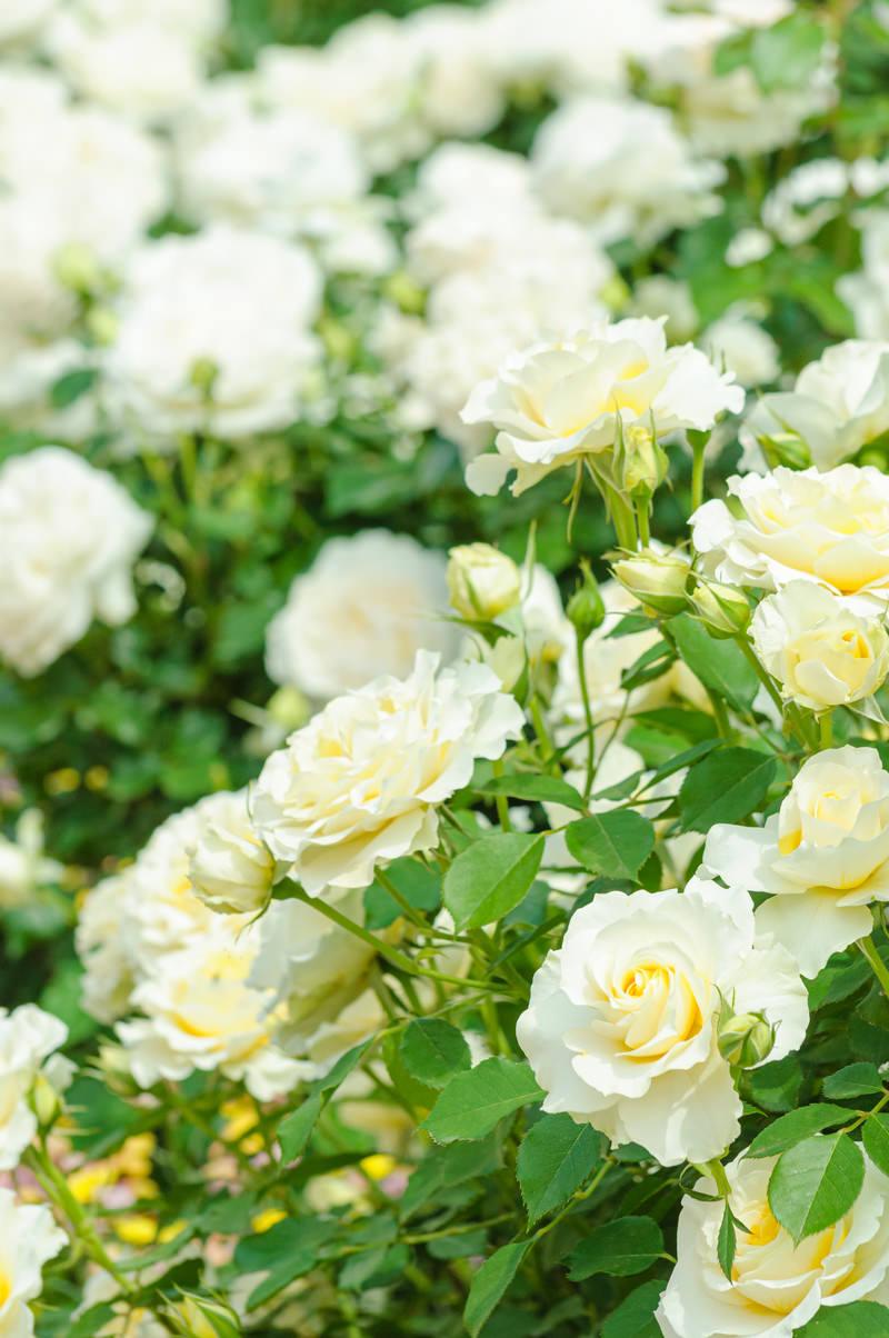 「薄クリーム色のバラ」の写真
