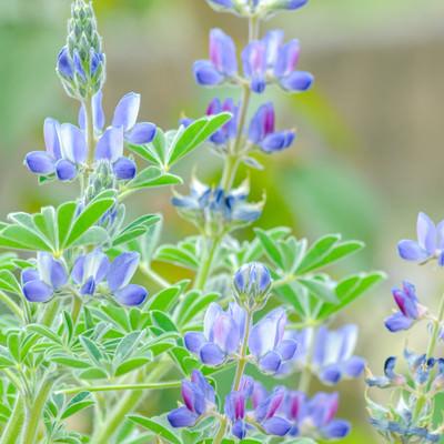 青色のルピナスの写真