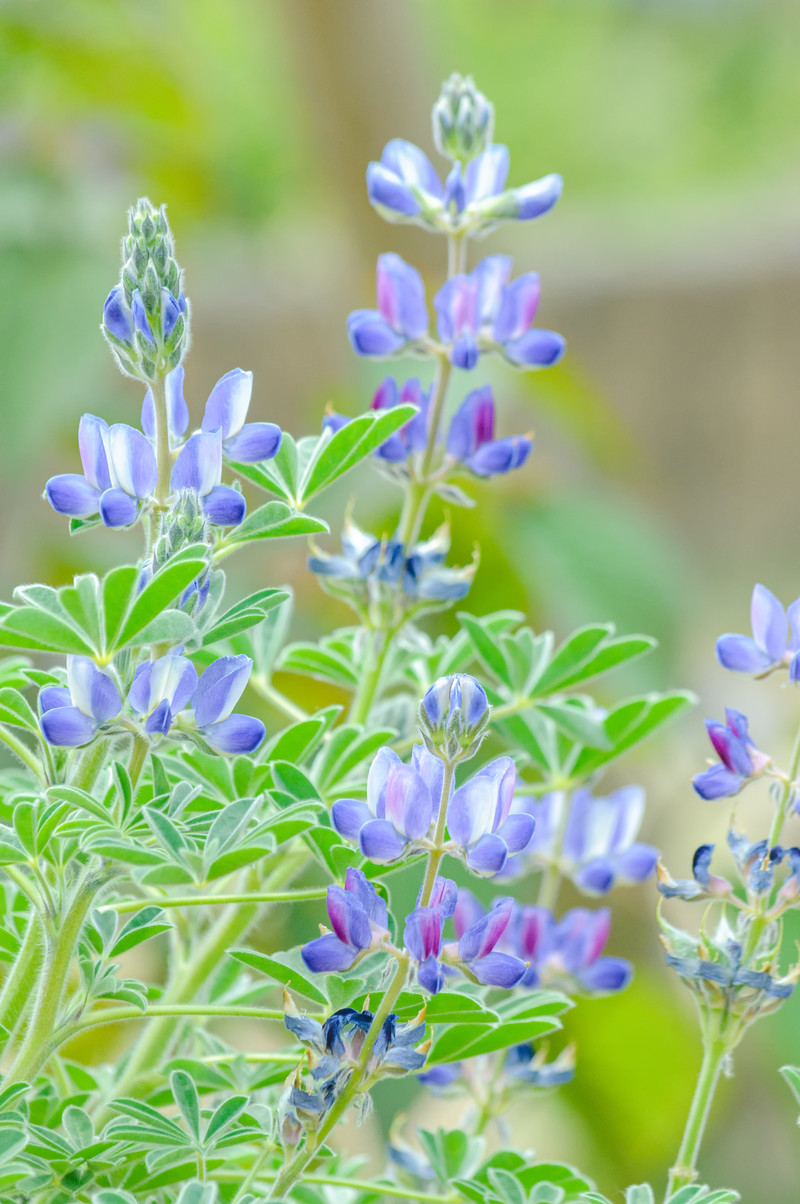 「青色のルピナス」の写真