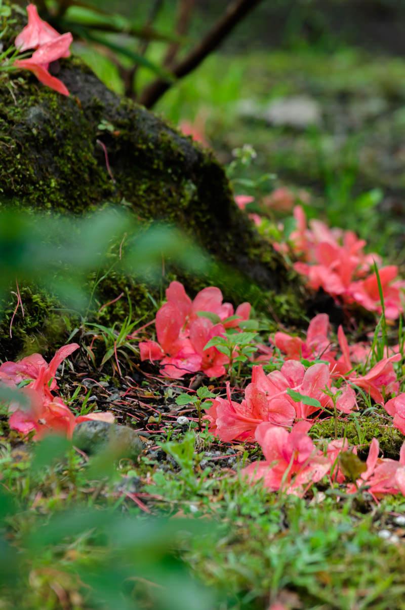 「散りゆくツツジの花」の写真