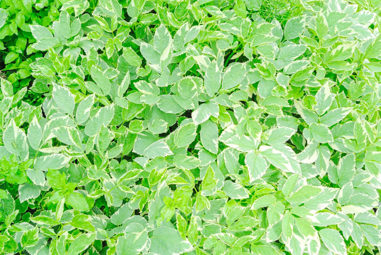 「斑入りミツバのテクスチャ」の写真