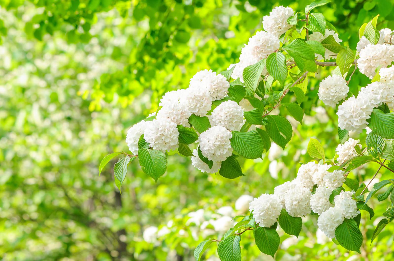 「新緑と白いオオデマリの装飾花」の写真