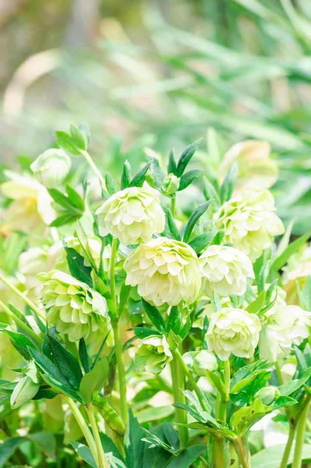 八重咲きのクリスマスローズの写真
