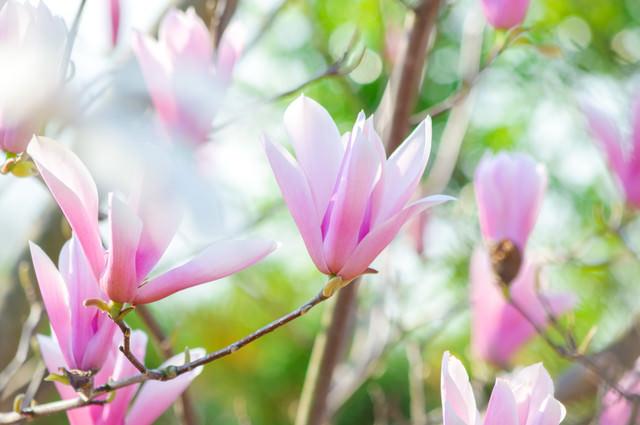春を知らせるマグノリアの写真