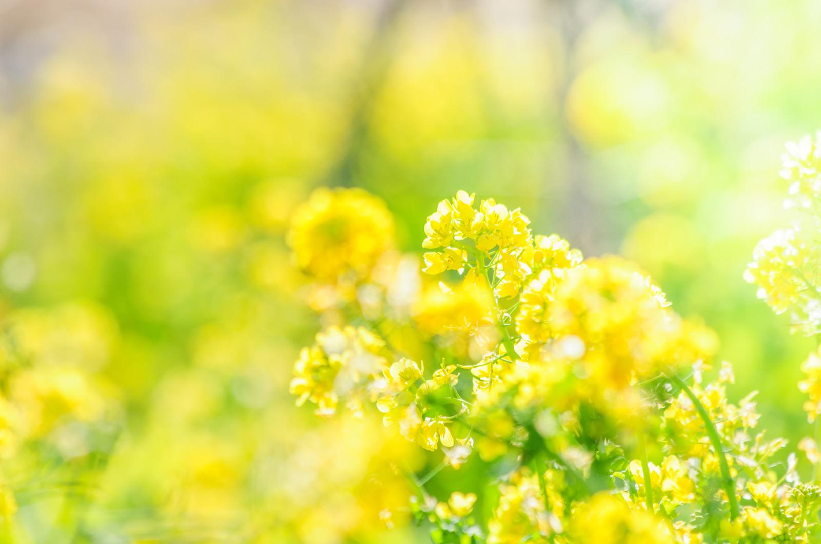 「菜の花満開」の写真