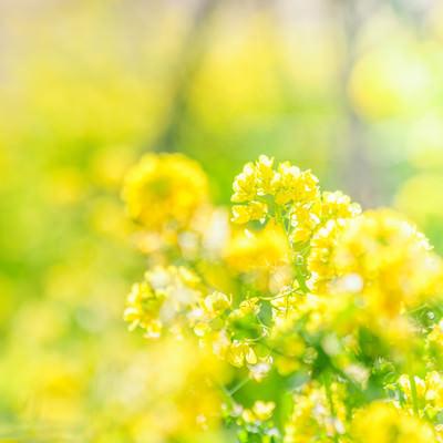 菜の花満開の写真