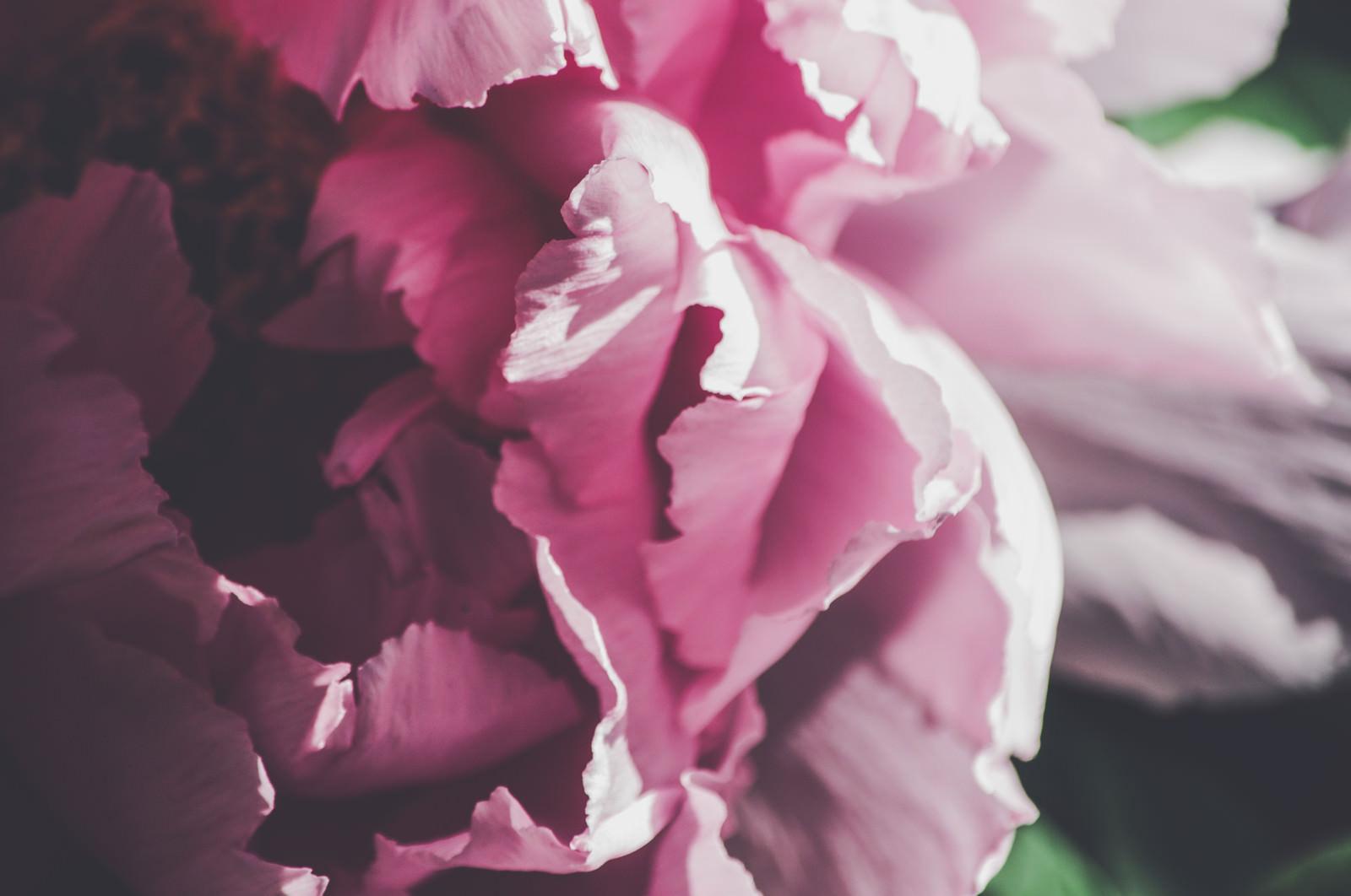 「牡丹の花びら」の写真