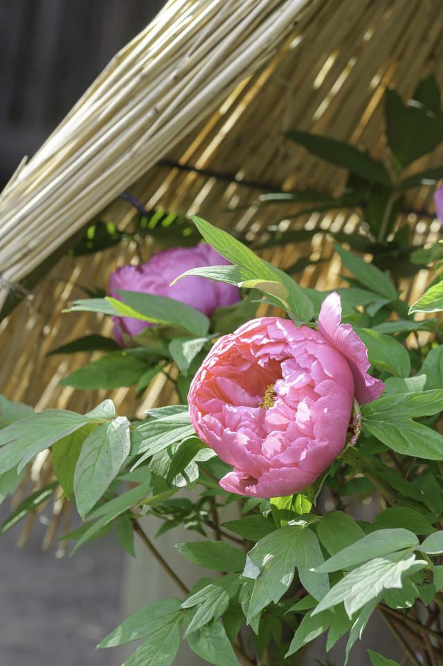 藁傘と牡丹の写真