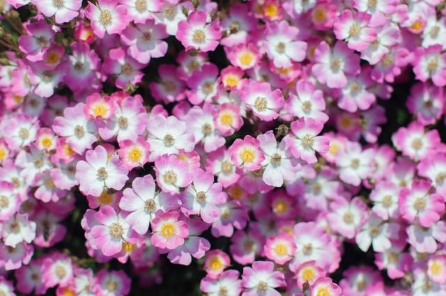 小さいお花の群れの写真