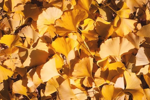 イチョウの落葉の写真