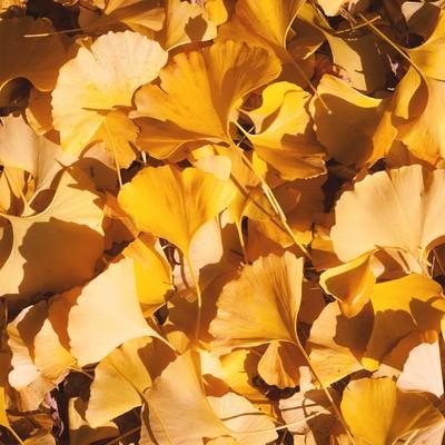 「イチョウの落葉」の写真素材