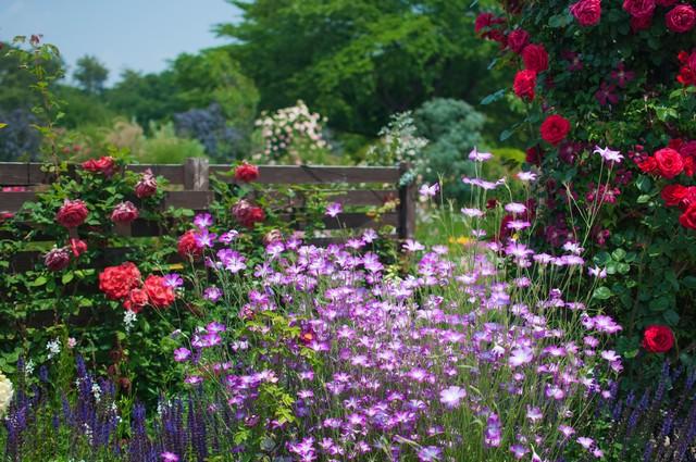 バラと宿根草の写真