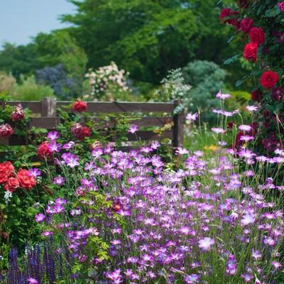 「バラと宿根草」の写真素材
