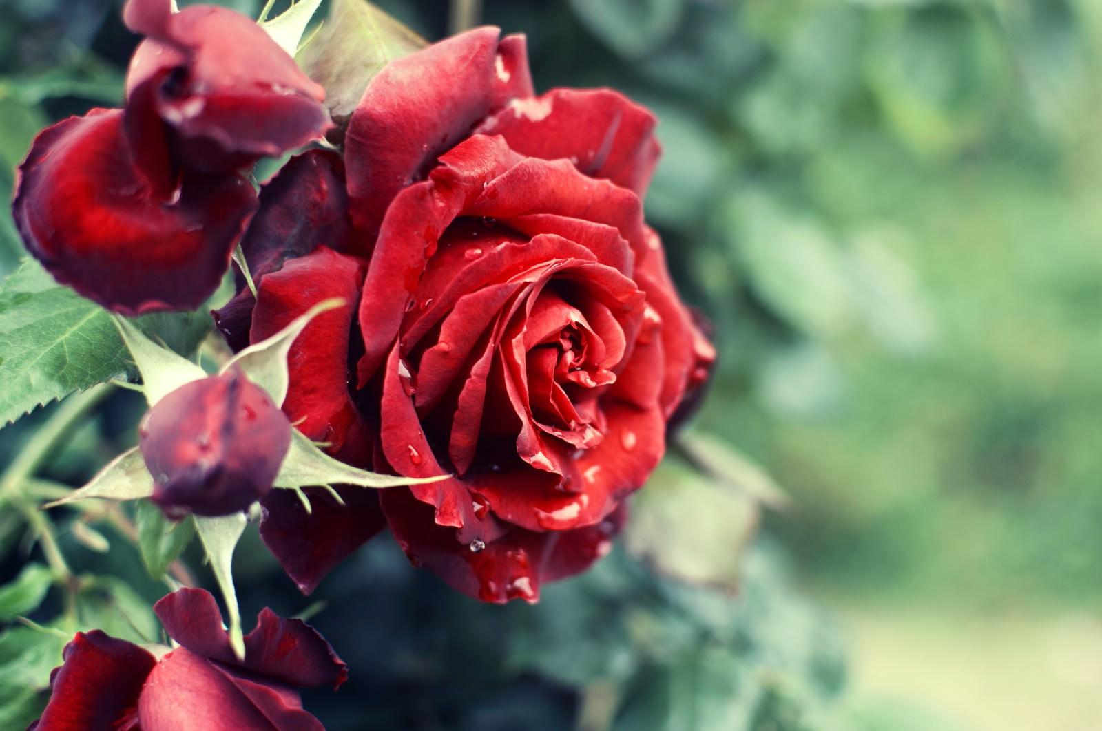「Crimson(バラ)Crimson(バラ)」のフリー写真素材を拡大