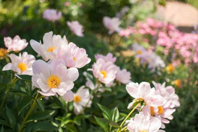 シャクヤクの花の写真