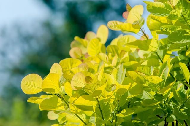 スモークツリーの新芽の写真
