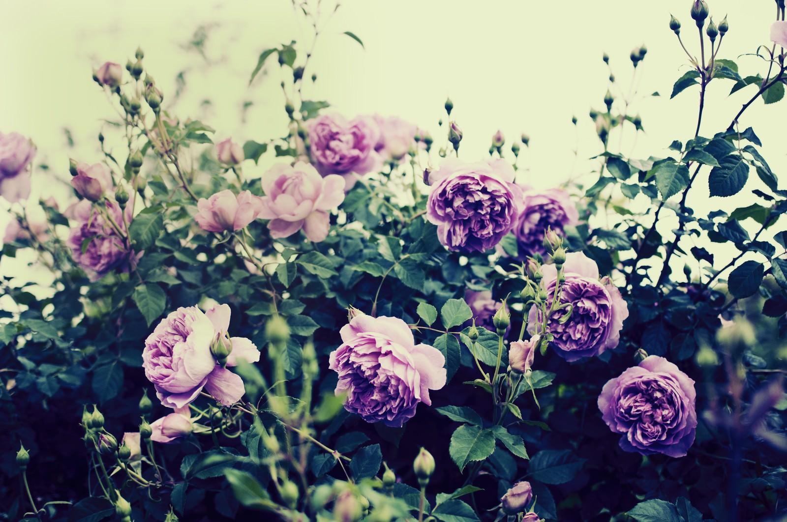 「懐古的嗜好(バラ)」の写真