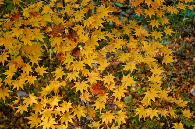 落葉した黄葉の写真