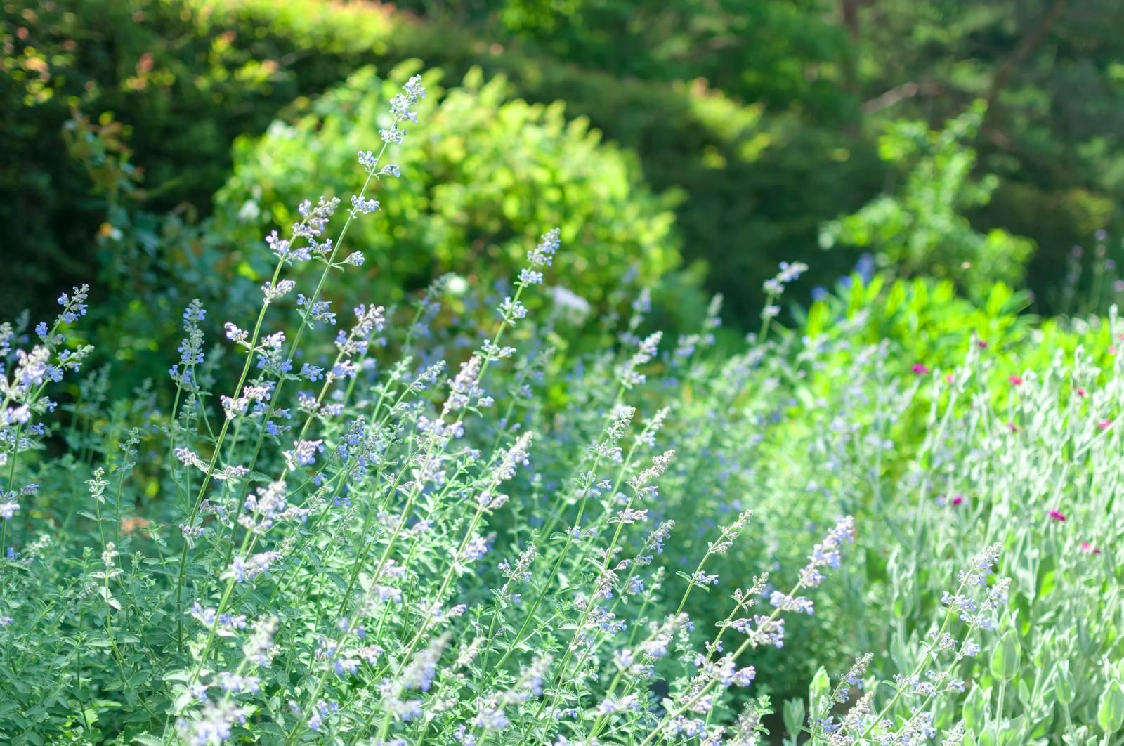 「セージの咲く庭」の写真