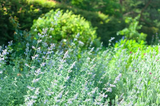 セージの咲く庭の写真